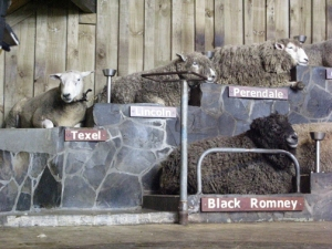NZ sheep Texel, Lincoln, Perendale, Black Romney