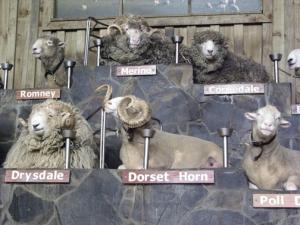 19 breeds of NZ sheep
