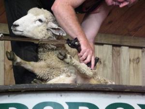Shearing 2