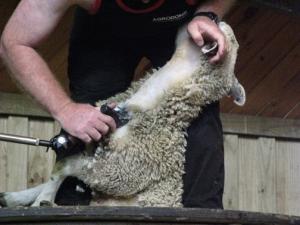 Shearing #3