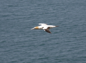 Gannet in New Zealand