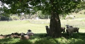 Rams await their turn