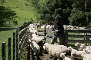 Neil admits 30 or 40 more sheep.