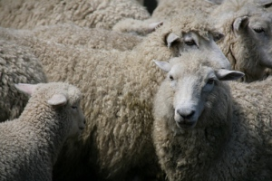 New Zealand Romney sheep