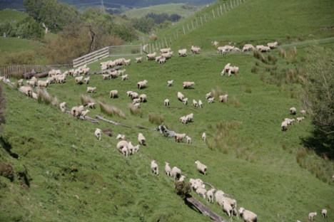 Sheep herding in New Zealand.