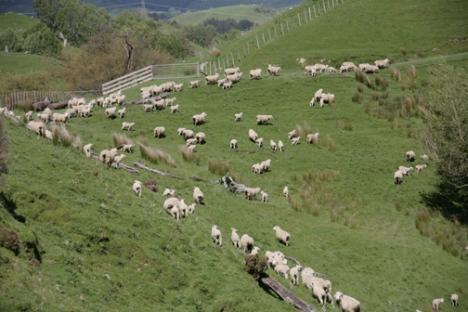 Sheep herding in New Zealand.