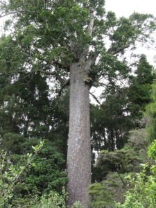 Old kauri tree
